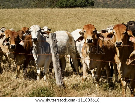 Australian brahma beef cattle line along a barbed wire fence, red cows grey cow - stock photo