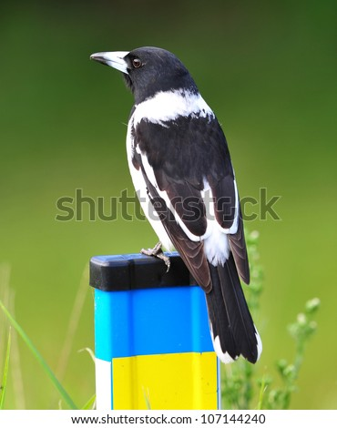 australian butcherbird full frame close up on fence, byron bay, australia, similar to magpie or currawong - stock photo