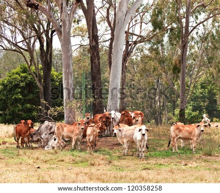 Australian cattle country herd of brahman cows by large eucalyptus gum trees landscape - stock photo