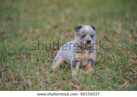 australian cattle dog (aka Blue heeler) puppy aged five weeks from the Inchgarth cattle dog stud, Himeville,south africa - stock photo