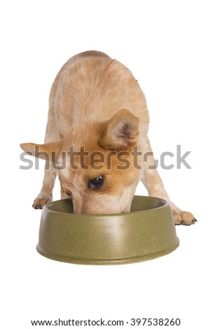 Australian cattle dog eating out of green dish isolated on white - stock photo