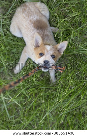 Australian cattle dog outdoors playing tug of war with rope - stock photo