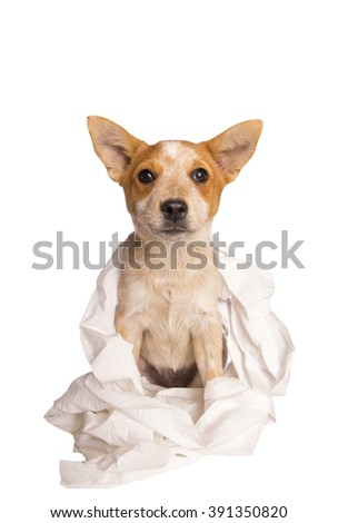 Australian cattle dog playing in toilet paper getting in trouble isolated on white background