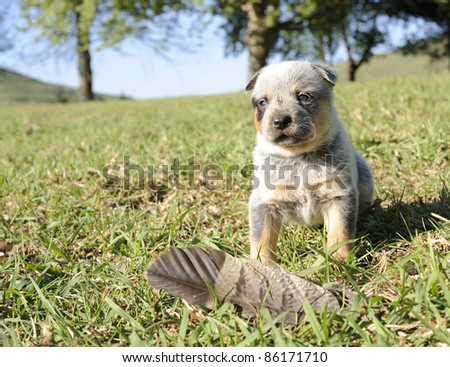 Australian cattle dog pup at four weeks old They are born white and begin to get their adult colour at about this age. - stock photo