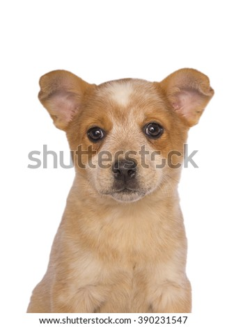 Australian cattle dog pup head shot isolated on white