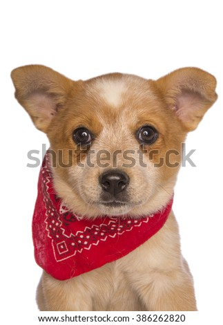 Australian cattle dog pup  head shot wearing bandanna scarf isolated - stock photo