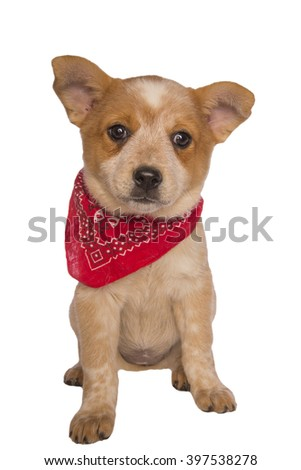 Australian cattle dog pup wearing bandana scarf isolated