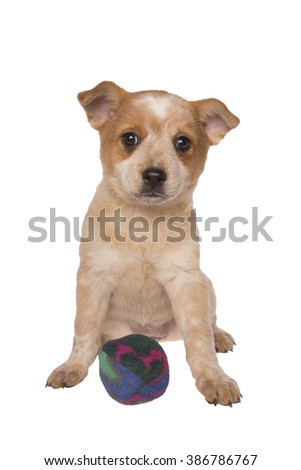 Australian cattle dog pup with ball ready to play isolated on white