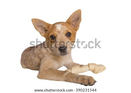 Australian cattle dog pup with rawhide bone isolated on white - stock photo
