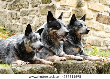 Australian Cattle Dog Training Guide Australian Cattle Dog ...