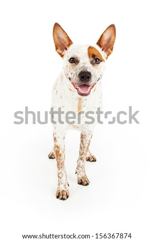 Australian Cattle Dog standing against a white background with a happy smile