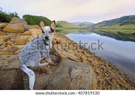 Australian Cattle Dog. Two month old puppy sits on a rock against a background of a lakeside. showing the effects of an extreme drought. Giant's Cup Wilderness, Underberg, South Africa. - stock photo
