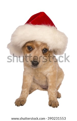 Australian cattle dog with santa hat on for christmas isolated on white background