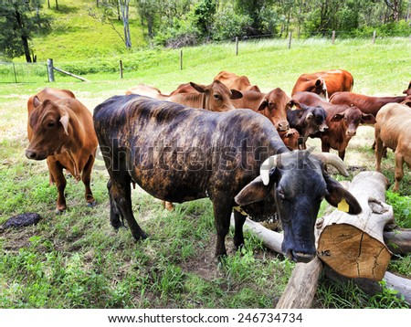 Australian cattle farm with livestock cows and bulls on green grass feeding and growing for beef production - stock photo