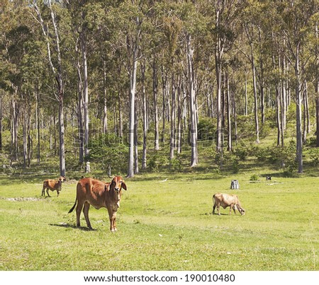 Australian cattle scene in eucalyptus forest environment - stock photo
