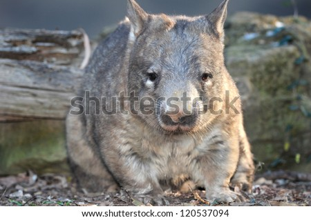 australian common wombat , queensland, australia. hairy nosed quadrupedal marsupial Vombatidae - stock photo