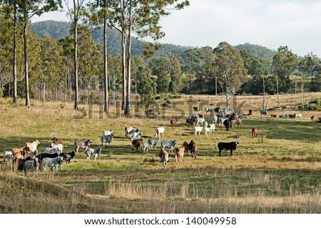 Australian country landscape beef cattle on rural ranch farm land and gum trees - stock photo