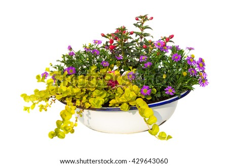 Australian Daisy , Fuchsia and moeywort are decorative planted in a old wasching bowl. - stock photo