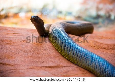 Australian desert snake slithering on red sand - stock photo