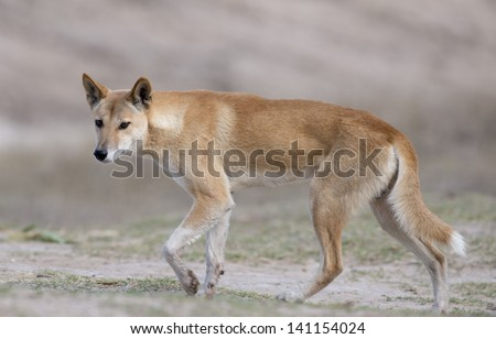 Australian dingo in desert country in outback Queensland, Australia. - stock photo