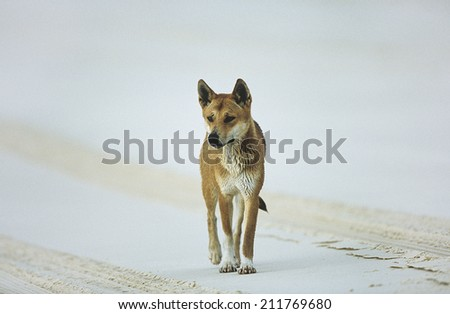 Australian Dingo on beach - stock photo