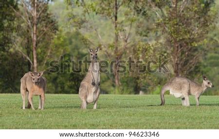 australian eastern grey kangaroos on the grass - stock photo