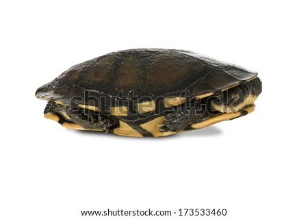 Australian eastern long-necked turtle (Chelodina longicollis), isolated on a white background. Clipping path included. - stock photo