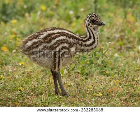 Australian emu chick (Dromaius novaehollandiae) standing on grass. - stock photo