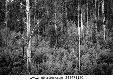 Australian forest scenic with ferns, ash and gum trees near Marysville, Victoria in black and white - stock photo