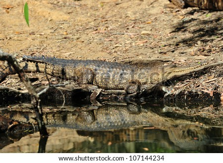 australian freshwater or johnstons crocodile on river bank, kakadu national park, northern territory, australia. exotic reptile/ amphibian in tropical setting - stock photo