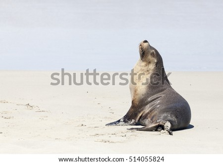 Australian Fur Seal on the beach