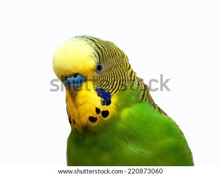 Australian Green Parrot isolated on the white background - stock photo