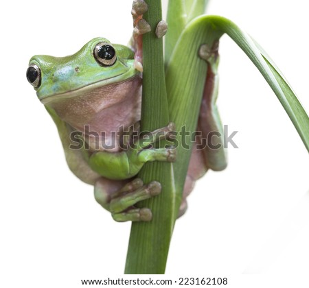 Australian Green Tree Frog on a leaf isolated on white.