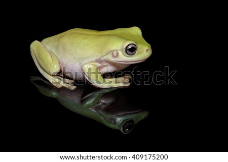 Australian green tree frog, or White's tree frog (Litoria caerulea) close-up on black background with reflection - stock photo