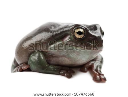 Australian Green Tree Frog, simply Green Tree Frog in Australia, White's Tree Frog, or Dumpy Tree Frog, Litoria caerulea, against white background - stock photo