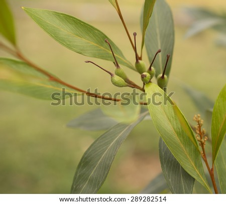 Australian Grevillea orange marmalade with green seed pods and foliage growing live in garden - stock photo