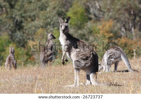 Australian Grey Kangaroo in the dry outback - stock photo