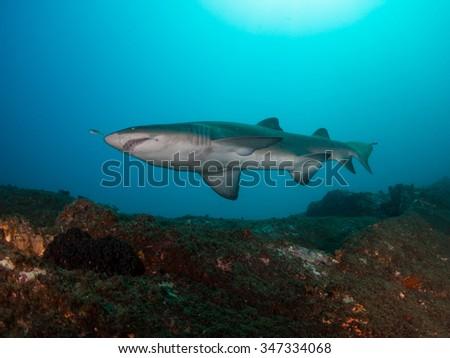 Australian Grey Nurse Shark, South West Rocks Australia - stock photo