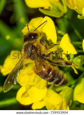 Australian Honey Bee
