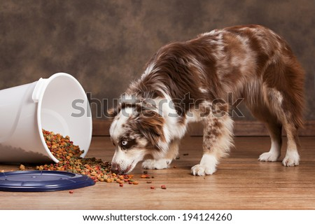 Australian husky eating from a spilled trash can full of dog food.  Room for your text. - stock photo