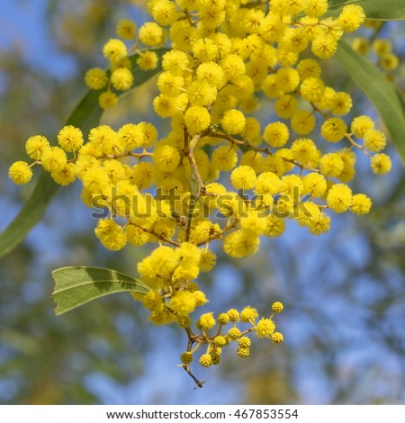 Australian Icon Golden Wattle Flowers blooming in spring close up