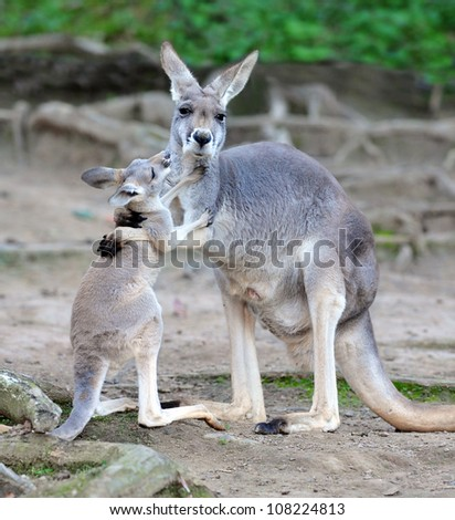 australian kangaroo affectionate embrace hugging with baby or joey, queensland, australia, exotic aussie mammal or marsupial with loving infant son or daughter in tropical setting