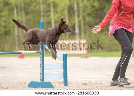 Australian Kelpie jumps over an agility hurdle in agility competion - stock photo