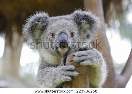 Australian koala - stock photo