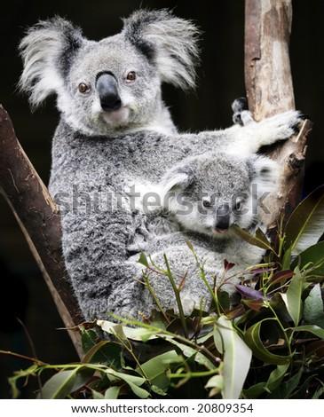 Australian Koala and six week old baby - stock photo