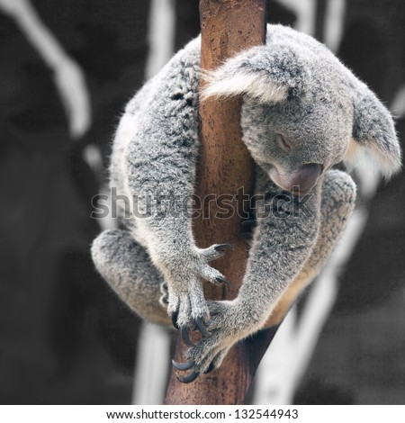 Australian Koala Bear sleep on a tree trunk