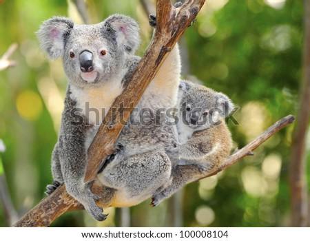 Australian Koala Bear with her baby in eucalyptus tree ,coffs harbor, Sydney, NSW, Australia grey bear - stock photo