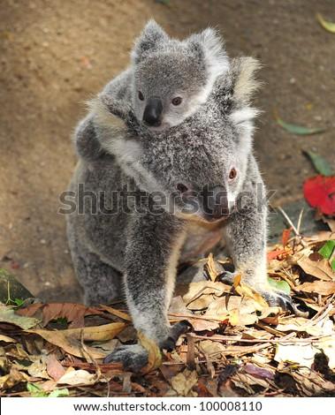 australian koala bear with her baby, sydney, australia grey bear exotic aussie mammal with joey on back walking on tropical rainforest floor - stock photo