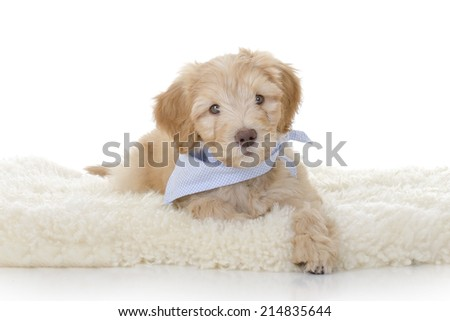 Australian Labradoodle dog in front of a white background