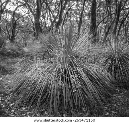 Australian landscape of grass trees in South Australia's Deep Creek Conservation Park in black and white - stock photo